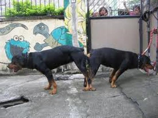 ROTTWEILER DOG SELLER IN BIHAR