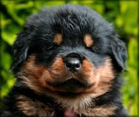 BEST ROTTWEILER DOG SELLER IN BIHAR