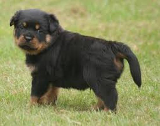 TOP ROTTWEILER DOG SELLER IN PATNA