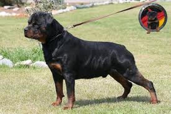 TOP ROTTWEILER DOG SELLER IN BIHAR