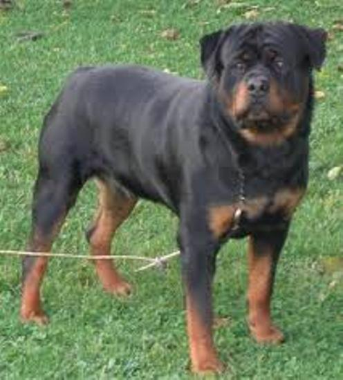 FAMOUS ROTTWEILER DOG SELLER IN BIHAR