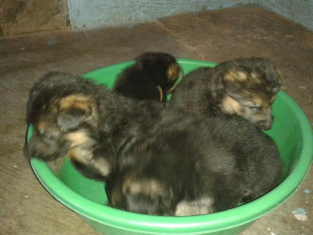 GERMAN SHEPHERD PUPPIES IN PATNA